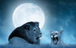 Leone e leonessa sulla savana Fotografia Stock
