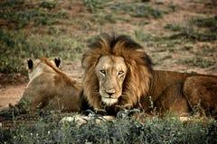 Leone e lioness Immagini Stock