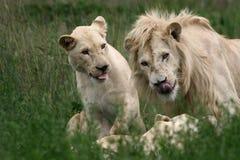Leone e Lioness bianchi Immagini Stock Libere da Diritti
