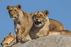Leone, femmina Panthera Leo, predatore africano fotografia stock