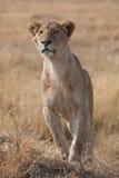 Leone femminile Fotografia Stock