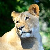 Leone femminile Fotografie Stock