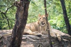Leone femminile africano in foresta Immagine Stock Libera da Diritti