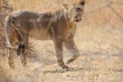 Leone femminile al parco nazionale Tanzania di ruaha fotografia stock libera da diritti