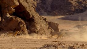 Leone femminile che corre nel bushveld africano, deserto di Namib, Namibia immagine stock libera da diritti