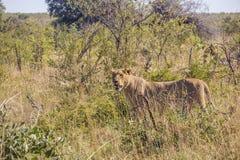 Leone femminile che si nasconde nel cespuglio, parco di Kruger Immagini Stock