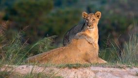 Leone femminile con il gioco del cucciolo nell'erba della savana africana immagine stock libera da diritti
