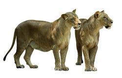 Leone femminile diritto (panthera Leo) Fotografia Stock Libera da Diritti