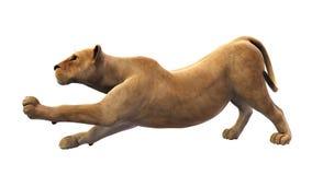 Leone femminile, leonessa che allunga, animale selvatico isolato su bianco Immagini Stock Libere da Diritti