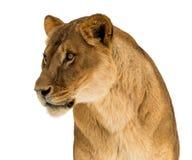 Leone femminile, panthera Leo, ritratto del lionesse, di gran lunga su fondo bianco Immagini Stock