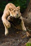 Leone femminile in un albero Fotografia Stock