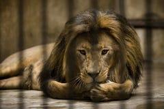 Leone in gabbia Immagine Stock