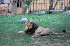 Leone in giardino zoologico immagini stock libere da diritti