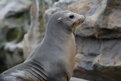 Leone marino Fotografie Stock