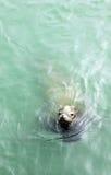 Leone marino Fotografia Stock Libera da Diritti