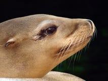 Leone marino Immagini Stock Libere da Diritti