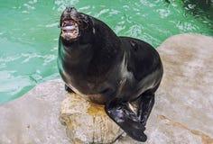 Leone marino Fotografie Stock Libere da Diritti