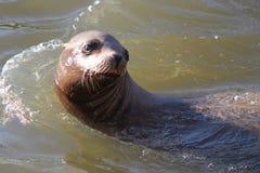 Leone marino in acqua fotografia stock