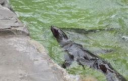 Leone marino in acqua Immagine Stock