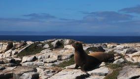 Leone marino adulto sulle plaze del sud di isla nel galapagos video d archivio