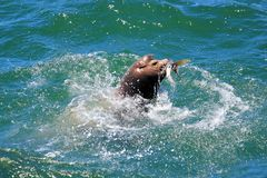 Leone marino affamato affamato Fotografie Stock