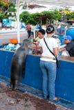 Leone marino affamato, isole di Galapos fotografie stock libere da diritti