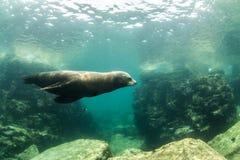 Leone marino al La Paz, Messico Fotografia Stock