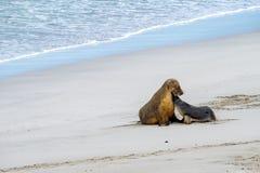 Leone marino australiano che si rilassa sulla madre e sul bambino della spiaggia Fotografia Stock Libera da Diritti