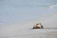 Leone marino australiano neonato sul fondo della spiaggia sabbiosa Immagine Stock Libera da Diritti