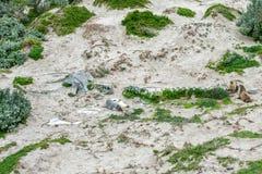 Leone marino australiano neonato sul fondo della spiaggia sabbiosa Fotografia Stock