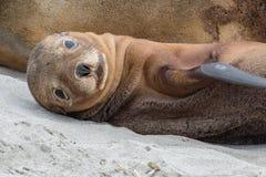 Leone marino australiano neonato sul fondo della spiaggia sabbiosa Immagini Stock