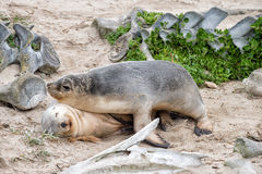 Leone marino australiano neonato sul fondo della spiaggia sabbiosa Immagini Stock Libere da Diritti
