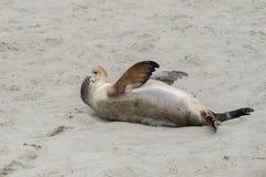 Leone marino australiano neonato sul fondo della spiaggia sabbiosa Fotografie Stock