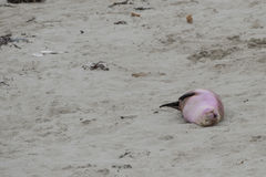 Leone marino australiano neonato sul fondo della spiaggia sabbiosa Fotografie Stock Libere da Diritti