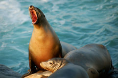 Leone marino a bocca aperta a San Diego, CA Immagine Stock