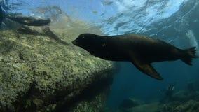 Leone marino californiano stock footage