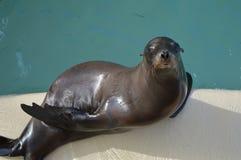 Leone marino californiano Immagini Stock