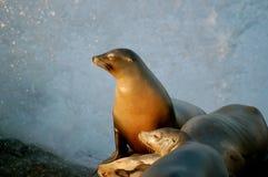 Leone marino che chiude i suoi occhi mentre essendo spruzzando Fotografia Stock Libera da Diritti