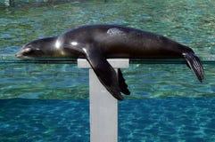 Leone marino che dorme al sole ad un acquario Immagine Stock