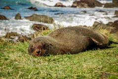 Leone marino che dorme sull'erba Fotografie Stock Libere da Diritti