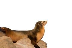 Leone marino che dorme sulla grande pietra isolata su bianco Fotografie Stock Libere da Diritti