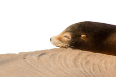 Leone marino che dorme sulla grande pietra isolata su bianco Fotografia Stock
