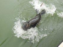 Leone marino che nuota di fianco Immagini Stock