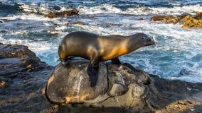 Leone marino che posa, spiaggia di La Jolla, San Diego, California, U.S.A. Fotografia Stock Libera da Diritti