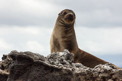 Leone marino che si siede su un'alta roccia, guardante alla macchina fotografica Immagine Stock Libera da Diritti