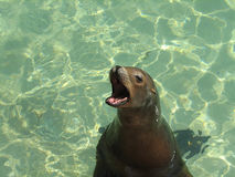 Leone marino con la sua bocca spalancata Fotografia Stock Libera da Diritti