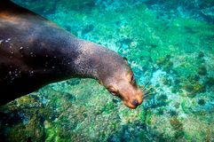 Leone marino curioso Galapagos subacqueo Fotografia Stock Libera da Diritti