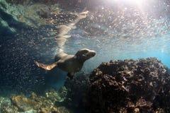 Leone marino curioso subacqueo Fotografia Stock