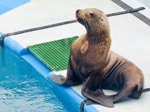 Leone marino del centro di vita dell'Alaska - mare Fotografie Stock