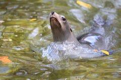 Leone marino di California Immagini Stock